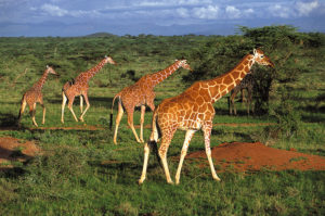 kenya-giraffer-magical-kenya