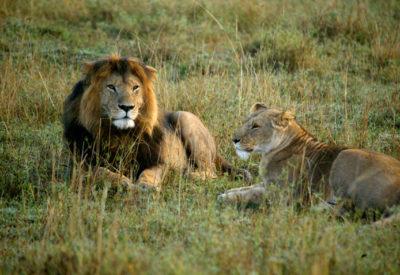 kenya-lejon-magical-kenya-717x477